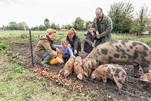 feeding-pigs